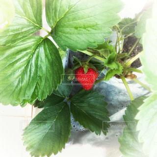 苺の写真・画像素材[1172377]