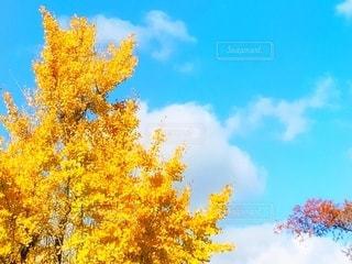 銀杏の木♪の写真・画像素材[2741211]