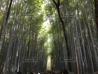 竹林の写真・画像素材[337035]