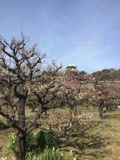 大阪城梅林の写真・画像素材[359242]