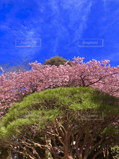 新宿御苑の寒桜の写真・画像素材[1807028]
