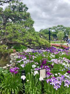 堀切菖蒲園の写真・画像素材[2187008]
