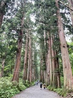 戸隠神社奥社の杉並木の写真・画像素材[3523594]