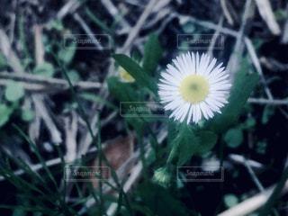 一輪の花の写真・画像素材[903203]