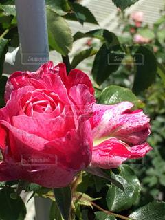薔薇の写真・画像素材[537599]