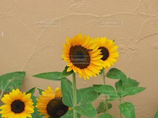 黄色の花の写真・画像素材[705178]