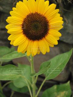 近くに黄色い花のアップの写真・画像素材[710257]