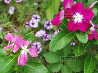 植物にピンクの花の写真・画像素材[712623]