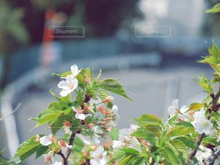 葉桜の写真・画像素材[1101543]