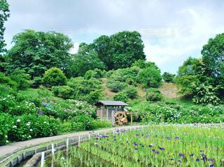 菖蒲と紫陽花と水車の写真・画像素材[1232701]