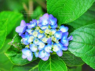 紫陽花の写真・画像素材[2206908]