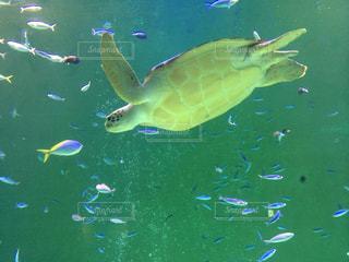魚の写真・画像素材[334155]