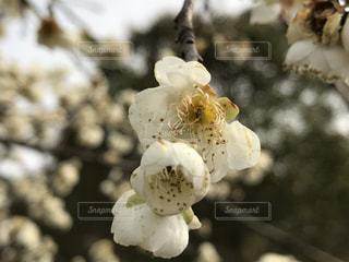 花見の写真・画像素材[392914]