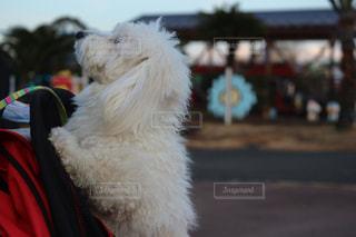 犬の写真・画像素材[336711]