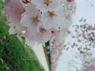 No.337194 桜