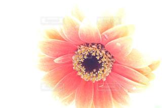 ガーベラのアップの写真・画像素材[1051016]