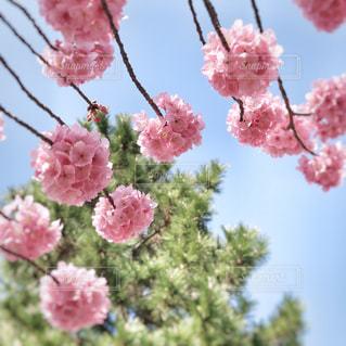 桜の写真・画像素材[1089764]