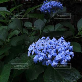 6月の紫陽花の写真・画像素材[1236896]