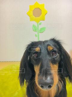 カメラを見て、茶色と黒犬の写真・画像素材[1381819]