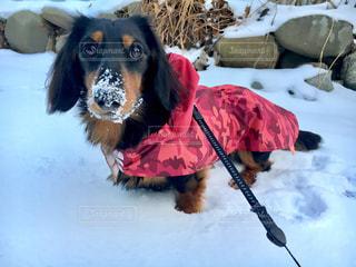 雪の中で遊んでたら鼻先が白くなったの写真・画像素材[1719032]