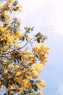 ミモザの大きな木の写真・画像素材[1131870]