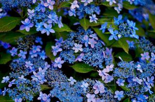 7月の紫陽花の写真・画像素材[2310250]