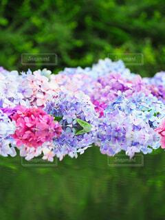 紫陽花のリフレクションの写真・画像素材[4535484]