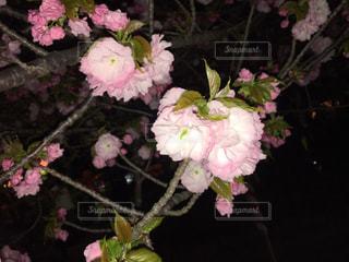 桜の写真・画像素材[338083]