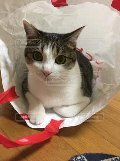 赤と白の紙の上に座っている猫の写真・画像素材[1776721]