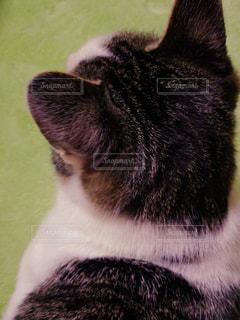 猫の写真・画像素材[339274]