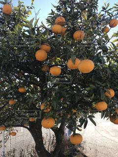 オレンジの写真・画像素材[338631]