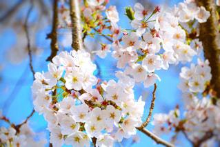 桜の写真・画像素材[436375]