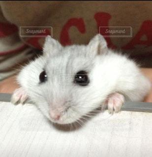 ハムスター,かわいい,ペット,小動物