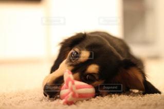 犬の写真・画像素材[339684]