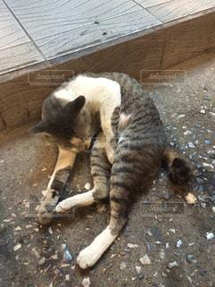 寝てる猫の写真・画像素材[339727]