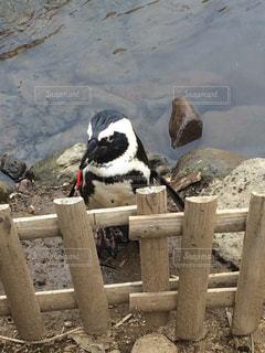 ペンギン - No.340179