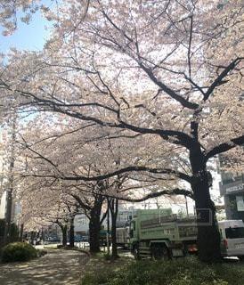 桜の写真・画像素材[10774]