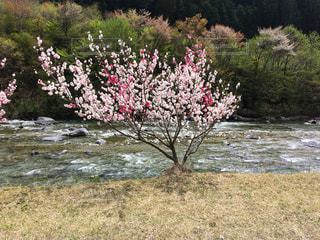 桜と川の写真・画像素材[899434]