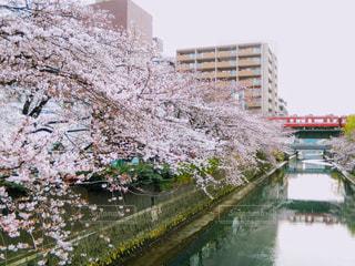 桜の写真・画像素材[361562]