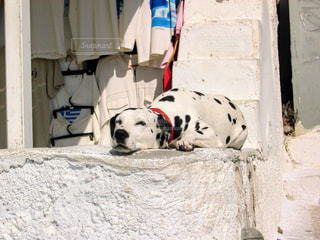 犬,太陽,昼寝,柴犬,欧州,ギリシャ,子犬,ビーグル,眠い,ゴールデンレトリバー,大型犬,だるい,番犬,ミコノス島,やってらんねー