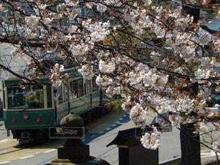 桜の写真・画像素材[432265]