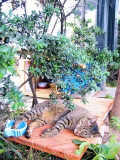 猫の写真・画像素材[439973]