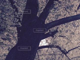 桜の写真・画像素材[446058]
