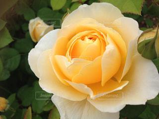 花の写真・画像素材[342045]