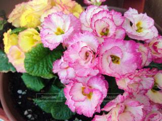 花の写真・画像素材[342062]
