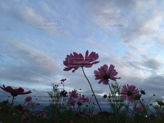 曇りの日にピンクの花のグループの写真・画像素材[792454]