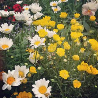白い花と黄色の草花の写真・画像素材[906576]