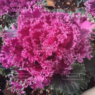 ピンク・紫の花のアップの写真・画像素材[907708]