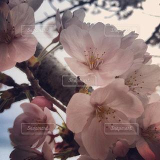 桜の花びらのアップの写真・画像素材[907709]