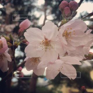 桜の花のアップの写真・画像素材[907710]